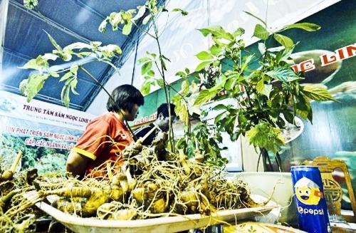 Phát triển bền vững sâm Ngọc Linh