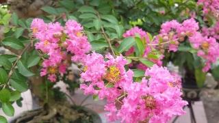 Tường vi cánh mỏng môi hồng