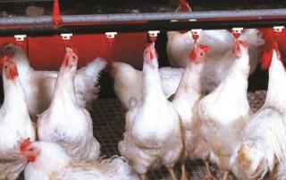 Nỗi lo tiêu thụ gà công nghiệp