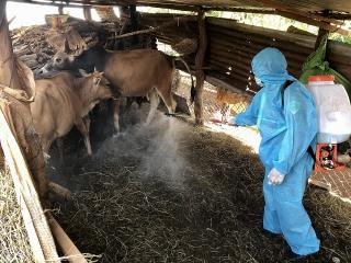 Gia Lai: Dịch bệnh trên gia súc diễn biến phức tạp