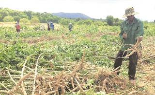 Nông dân điêu đứng vì bệnh hại cây trồng