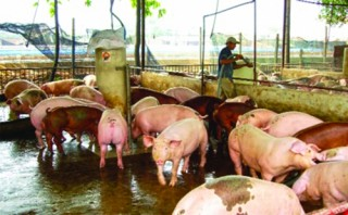 Nuôi lợn an toàn sinh học: Giải pháp tái đàn hiệu quả