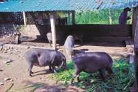 Cần nhanh chóng khống chế dịch tả lợn châu Phi
