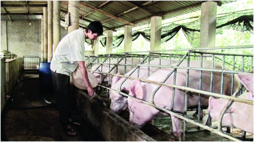 Tiềm năng lớn cho xuất khẩu thịt lợn