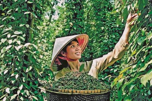 Tìm hướng xuất khẩu bền vững cho hồ tiêu