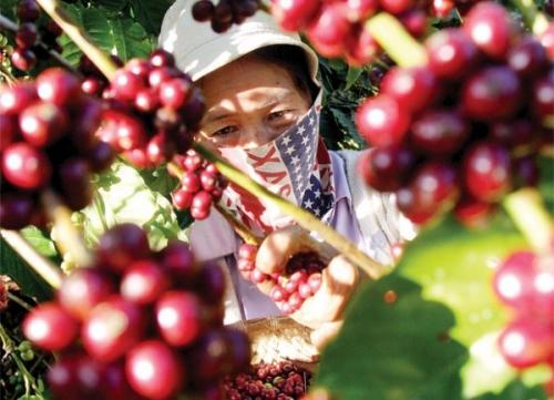 Đầu tư 170 tỷ đồng phát triển cà phê Việt Nam chất lượng cao