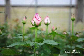 ADB tài trợ 20 triệu USD trồng hoa giá trị cao