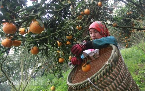 Sắp diễn ra Tuần lễ cam sành Hà Giang tại Hà Nội