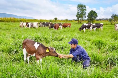 Vinamilk và kế hoạch phát triển đàn bò sữa 200.000 con