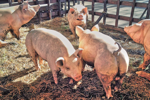 Ngành chăn nuôi: Cần điều chỉnh cho phù hợp thị trường