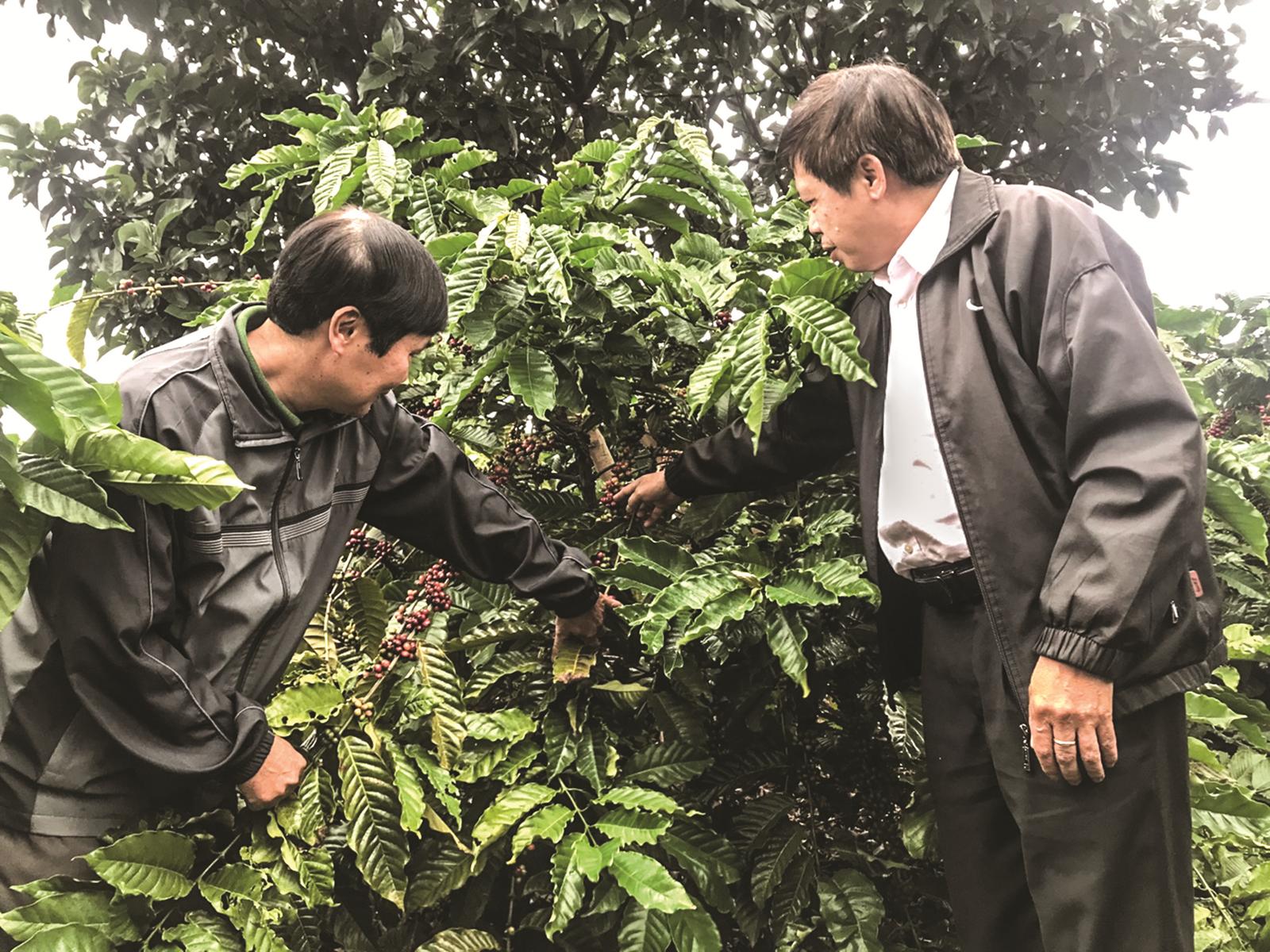 Tín dụng tái canh cây cà phê phát huy hiệu quả