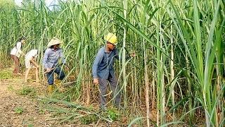 Mạnh tay cứu ngành mía đường