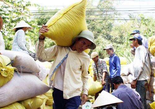 Chiều nay, Chính phủ họp về vấn đề lúa gạo xuống giá