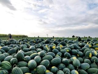 """Hàn Quốc tham gia """"giải cứu"""" hoa quả tươi của Việt Nam trước ảnh hưởng của dịch bệnh Covid-19"""