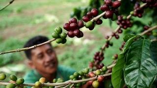 Nông dân trồng cà phê có thể là người hưởng lợi giữa đại dịch khi các quốc gia tăng tích trữ
