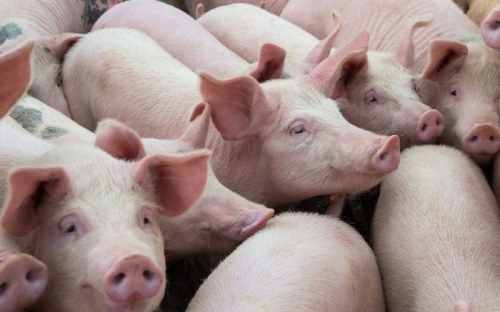 Hà Nội: 17 xã, phường thuộc 10 quận, huyện đã qua 30 ngày không phát sinh bệnh dịch tả lợn châu Phi