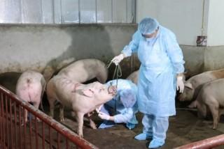 Việt Nam sản xuất thành công vaccine phòng dịch tả lợn châu Phi