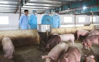 Hà Nội: Bệnh dịch tả lợn châu Phi đang giảm