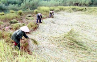 Triển khai thực hiện chính sách bảo hiểm nông nghiệp