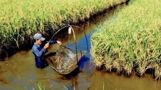 Hà Nội chi gần 16 tỷ đồng phát triển nuôi tôm càng xanh