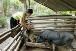 Phụ nữ Phong Thổ chăn nuôi giỏi