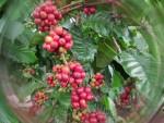Cà phê xuất khẩu: Mua đắt, bán rẻ