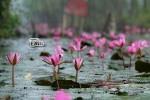 Chùm ảnh: Vẻ đẹp suối Yến - chùa Hương mùa hoa súng
