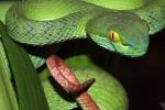 Khổ vì rắn lục đuôi đỏ