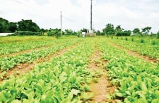 Nông nghiệp hữu cơ: Mạnh ngoài yếu trong