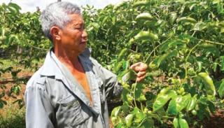 Nhức nhối nạn bảo kê tiêu thụ nông sản