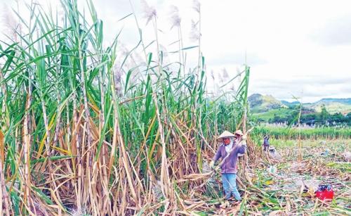Nông dân trồng mía đối mặt với khó khăn