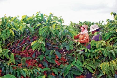 Người trồng cà phê đối mặt với thách thức