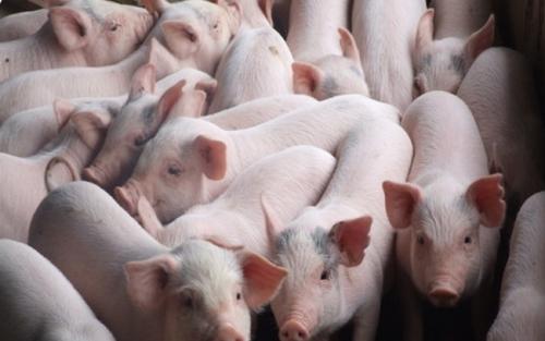 Ngân hàng sẵn sàng ứng phó với dịch bệnh trên lợn