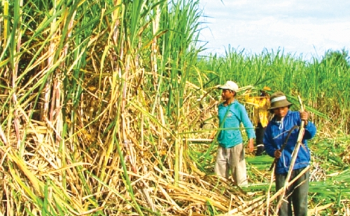 Thách thức lớn với ngành mía đường