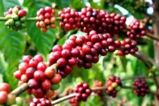 IFC hỗ trợ nâng cao kỹ năng canh tác cà phê cho nông dân Việt Nam