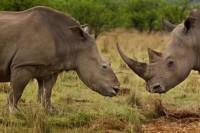 Lại nóng chuyện sừng tê giác