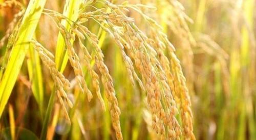 IFC đầu tư hơn 10 triệu USD vào giống cây trồng