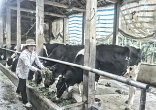 Hướng nghề nuôi bò sữa đến dịch vụ du lịch