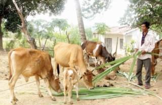 Chăn nuôi bò, bấp bênh đầu ra