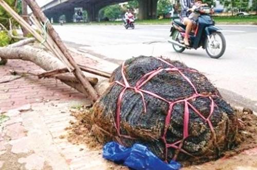 Cây xanh Hà Nội, còn nhiều trăn trở
