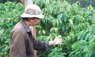 Cà phê rớt giá, nông dân lao đao