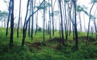 Nguy cơ xoá sổ rừng thông