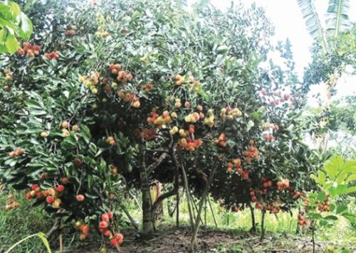 Mô hình vườn trái cây vẫn hút khách