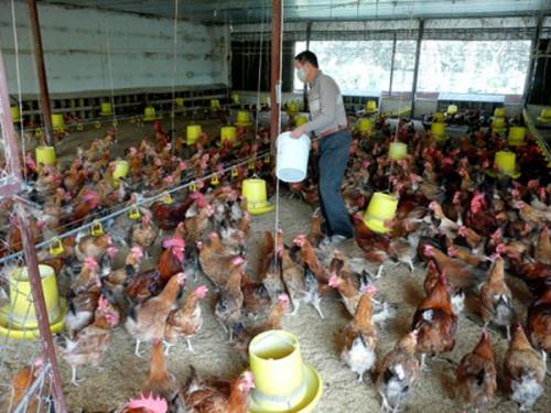 Chăn nuôi còn phát triển tự phát