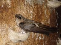 Tăng cường quản lý nghề nuôi chim yến