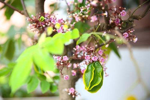 Mùa khế đơm hoa