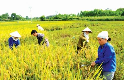 Lúa gạo xuất khẩu khởi sắc