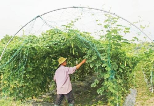 Cần hỗ trợ sản xuất rau sạch