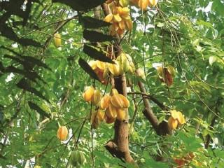 Qua mùa khế rụng