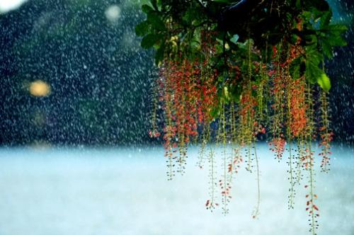 Lộc vừng trong mưa